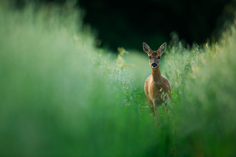 Roe deer in field of oats, Hampshire, South Downs National Park (Bret Charman)