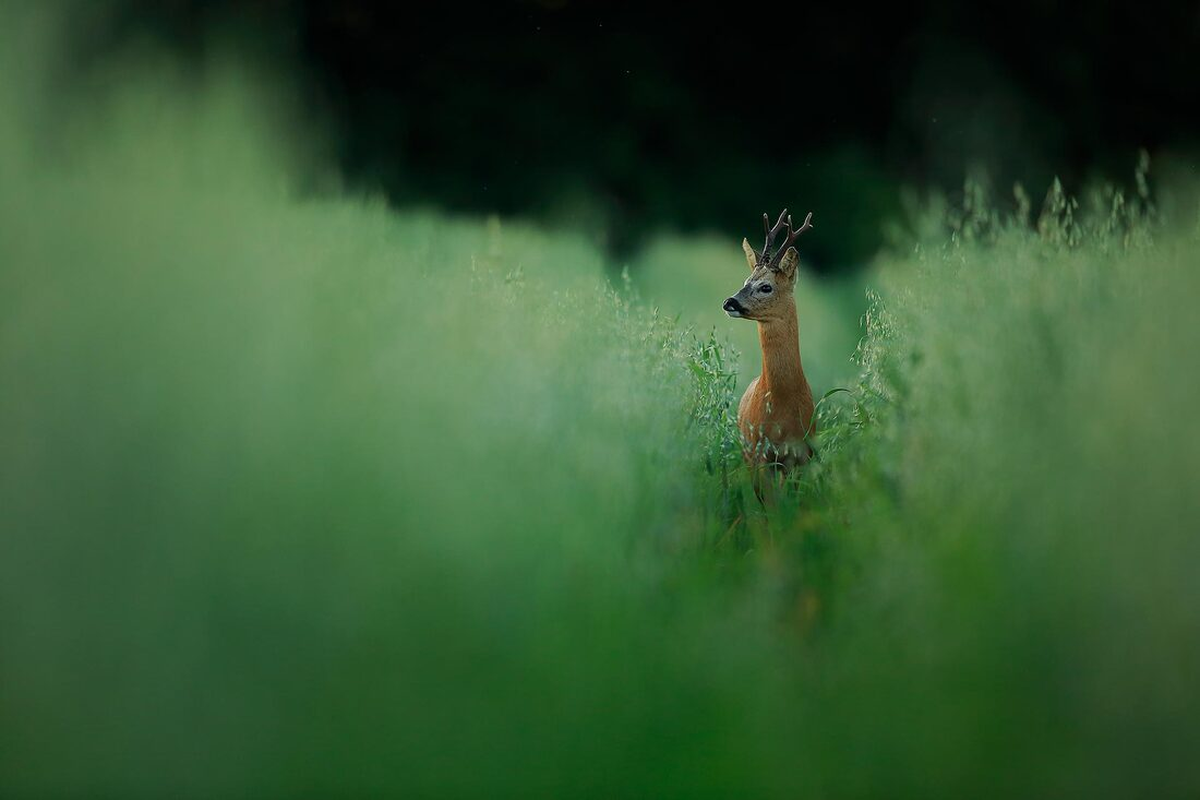 Roe deer, South Downs National Park by Bret Charman