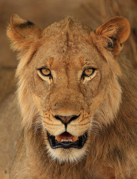 Immature male lion, Mana Pools National Park, Zimbabwe (Bret Charman)