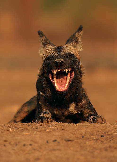 Yawning African wild dog, Mana Pools National Park (Bret Charman)