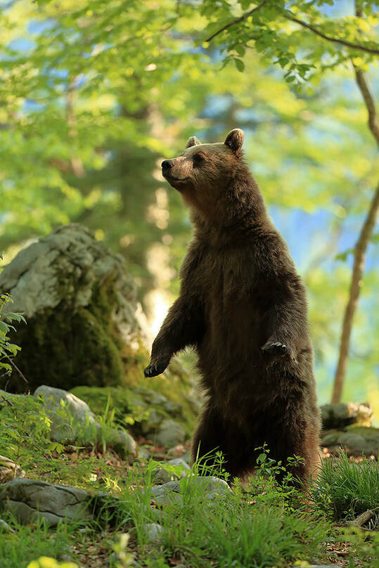 Standing brown bear, Slovenia (Bret Charman)
