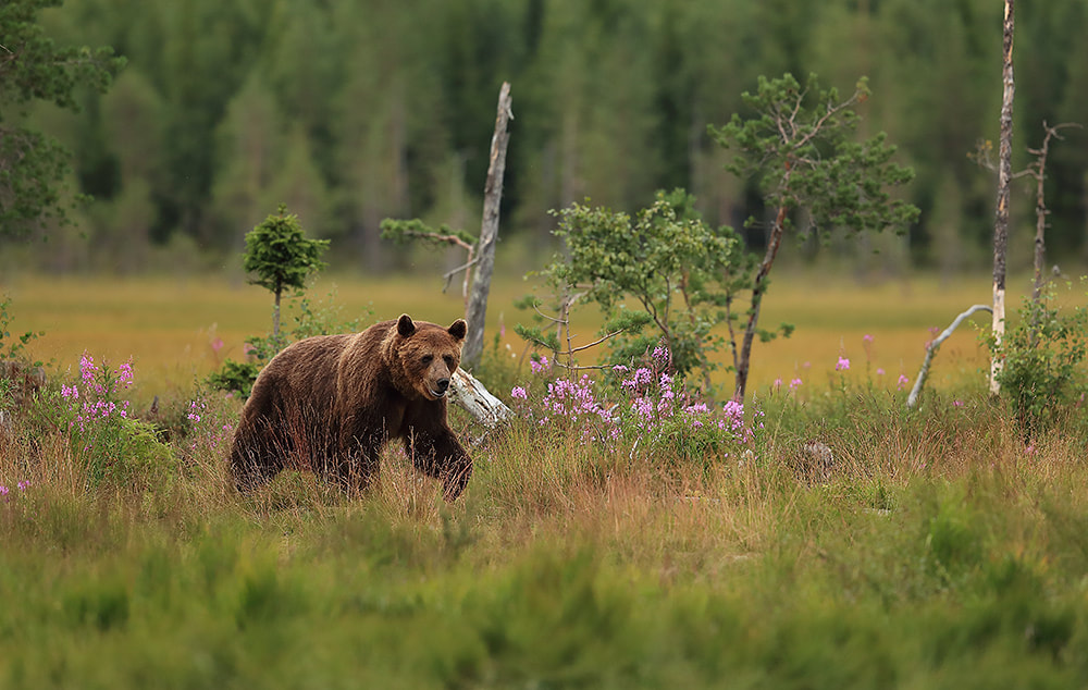 Brown bear in Finland by Bret Charman
