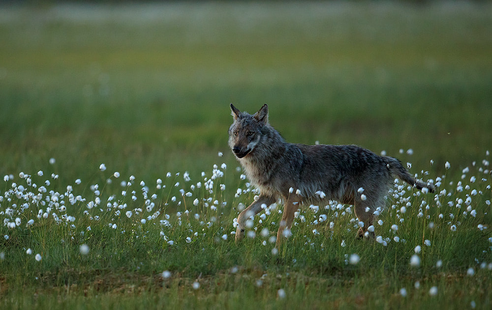 Wolf in cotton grass, Finland