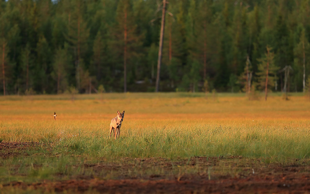 Wolf in Finland by Bret Charman