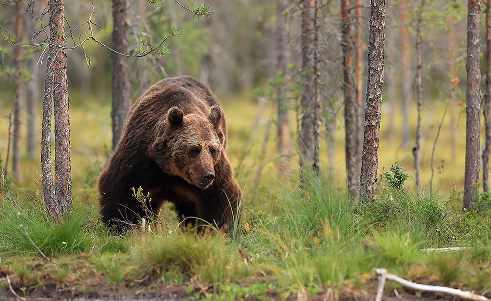 Bear in Finland by Bret Charman