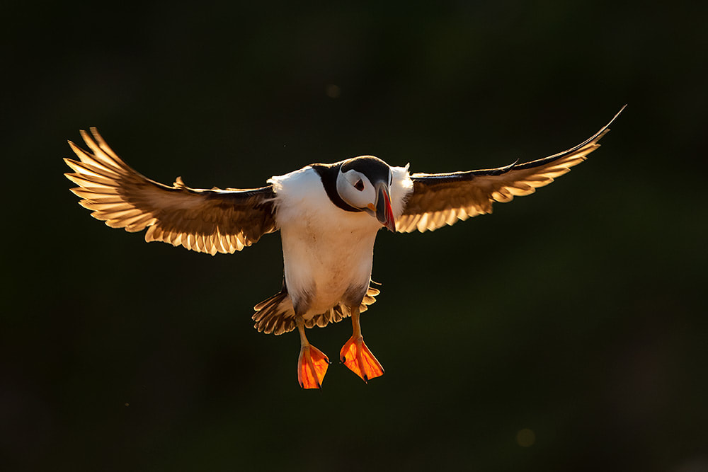 Backlit puffin coming in to land on Skomer Island