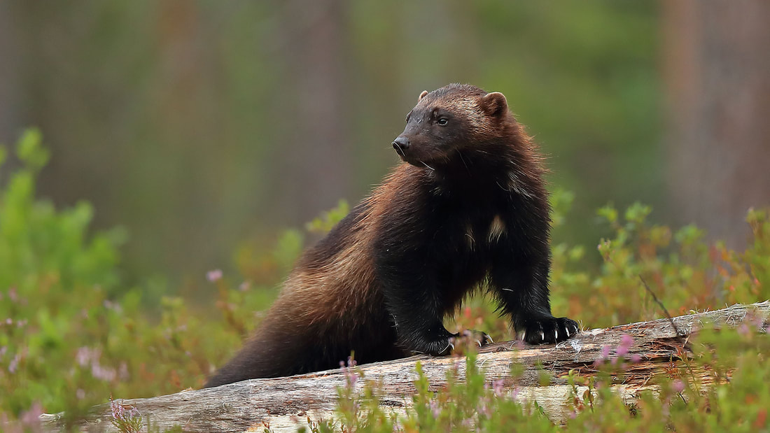 Wolverine in Finland by Bret Charman
