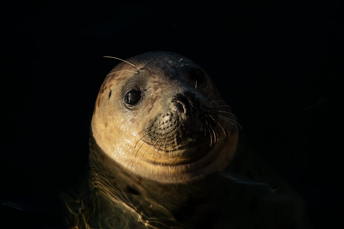 Young grey seal portrait