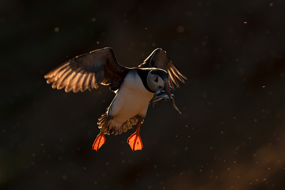 Puffin landing with a beak full of sand eels