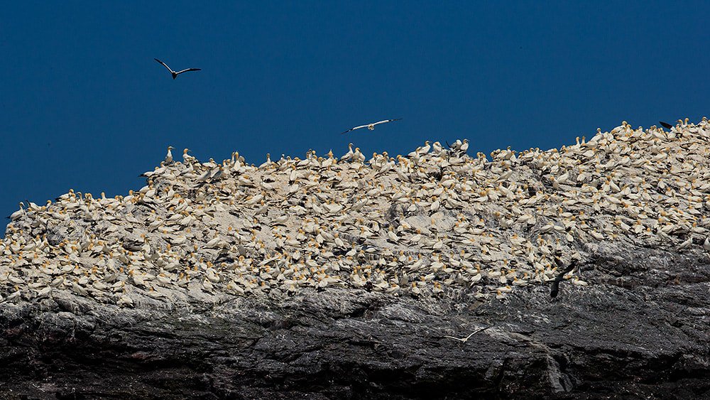 Gannet colony of Grassholm, Wales