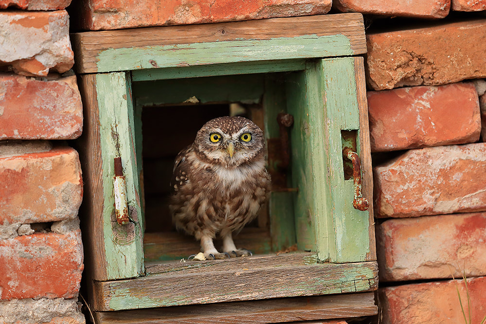Little owl in window, Danube Delta, Romania, Bret Charman