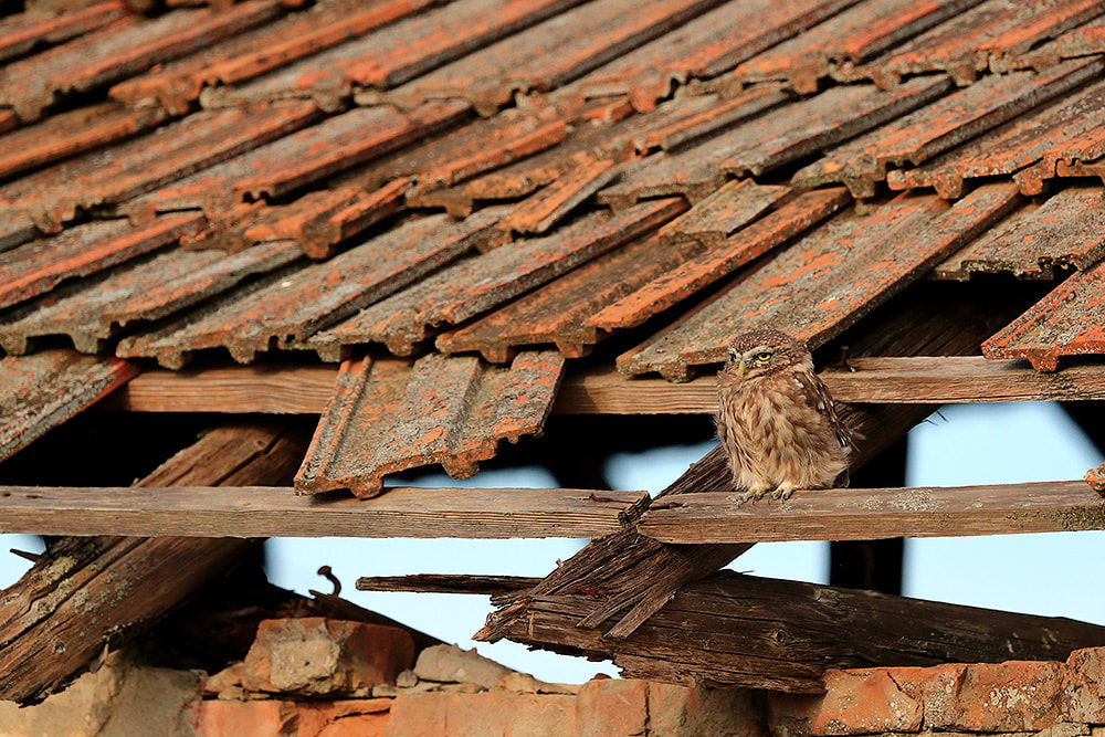 Little owl on abandoned building roof, Danube Delta, Romania, Bret Charman