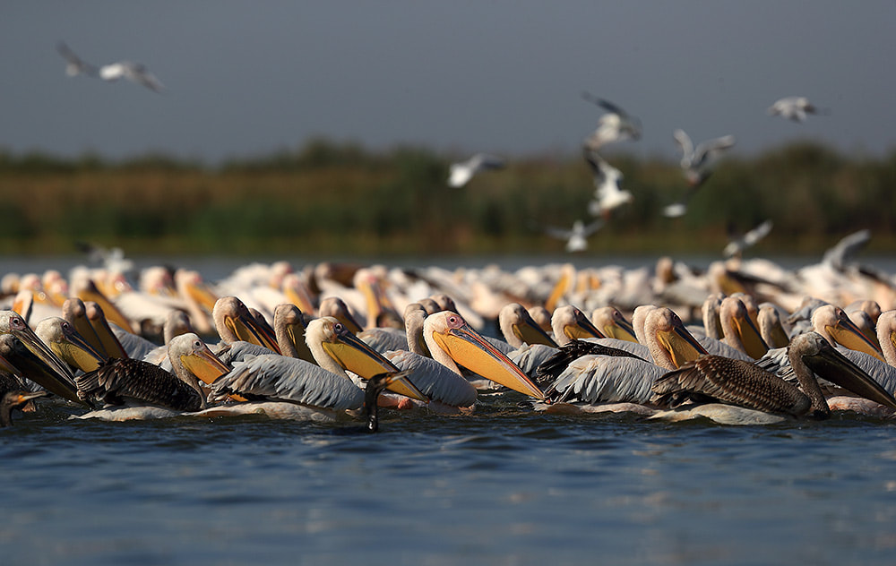 Great white pelicans, Danube Delta, Romania, Bret Charman