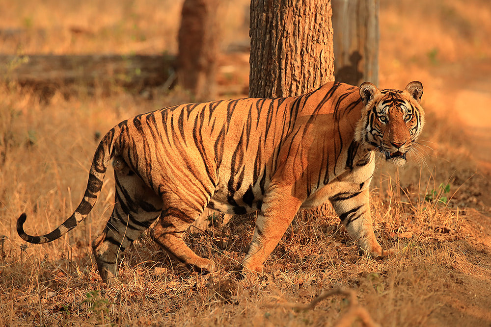 Male tiger in Nagarhole National Park