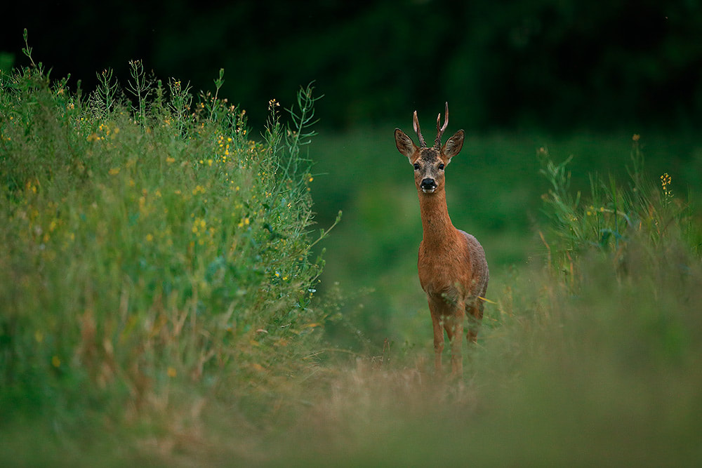 Roe deer buck on edge of oil seed rape, Hampshire, South Downs National Park (Bret Charman)