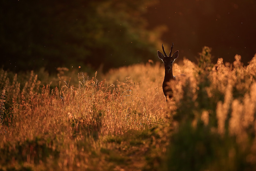 Roe deer buck backlit at sunset, Hampshire, South Downs National Park (Bret Charman)