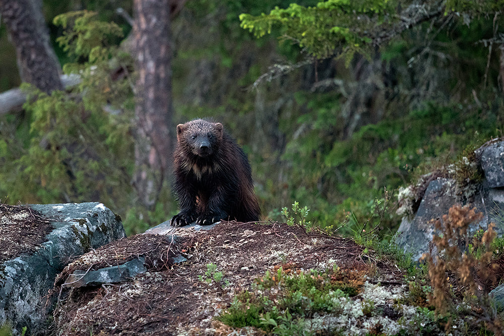 Wolverine in Finnish forest
