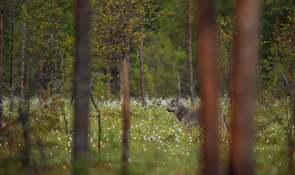 Grey wolf standing in cotton grass, Finland