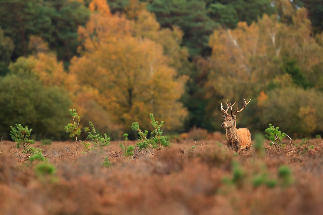 Red deer stag in heather, New Forest National Park by Bret Charman
