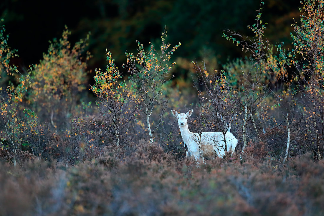 Leucistic fallow deer with young, New Forest National Park by Bret Charman