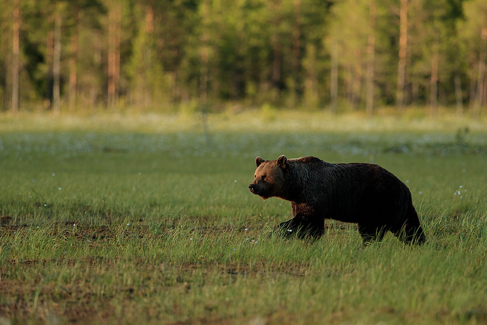 Brown bear wanders across a swamp landscape in Finland