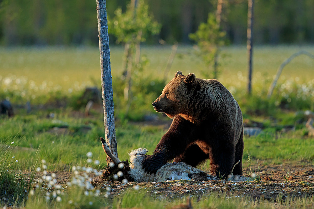 Brown bear feeding on a reindeer carcass in Finland