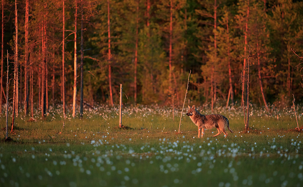 Wolf appears on the edge of the treeline at sunset