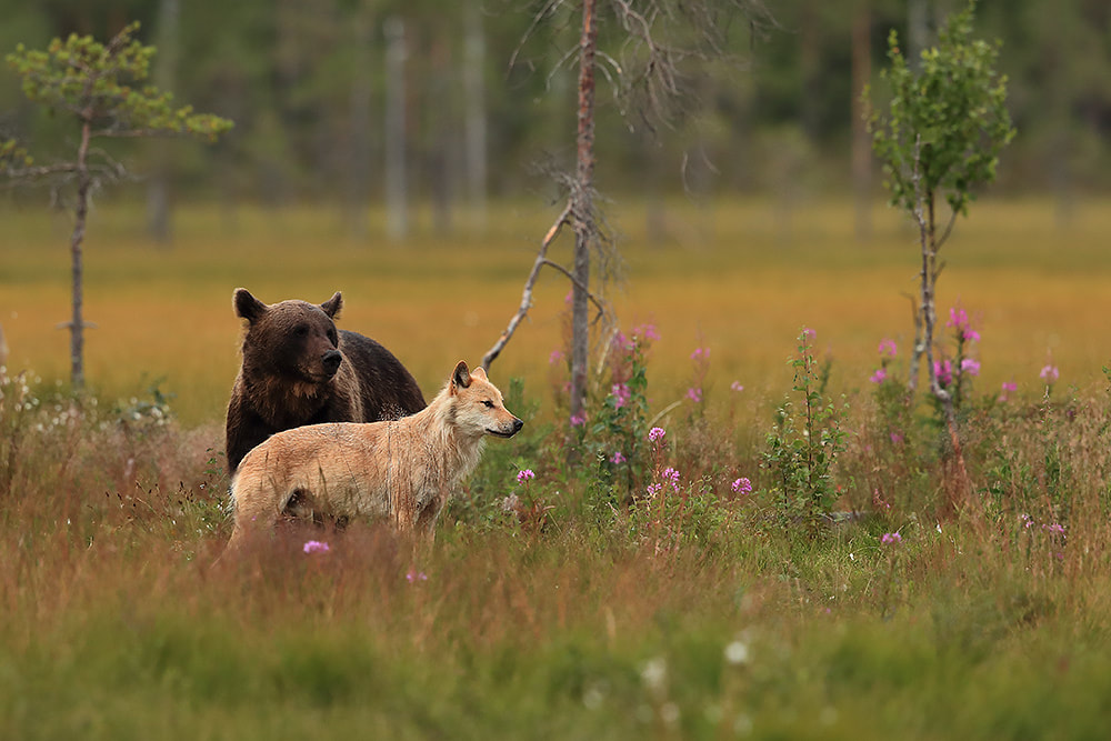Wolf and bear in Finland by Bret Charman